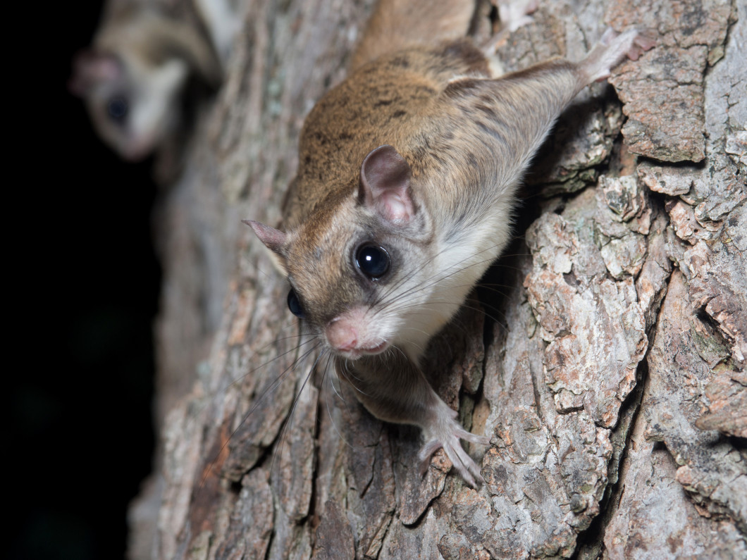 Rid Your Home of Flying Squirrels